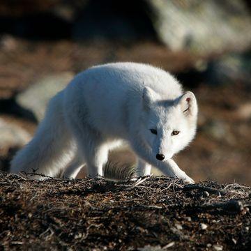 Hva er likheten mellom fjellrev og villhund? Spørsmålet må stilles før begge blir utryddet.